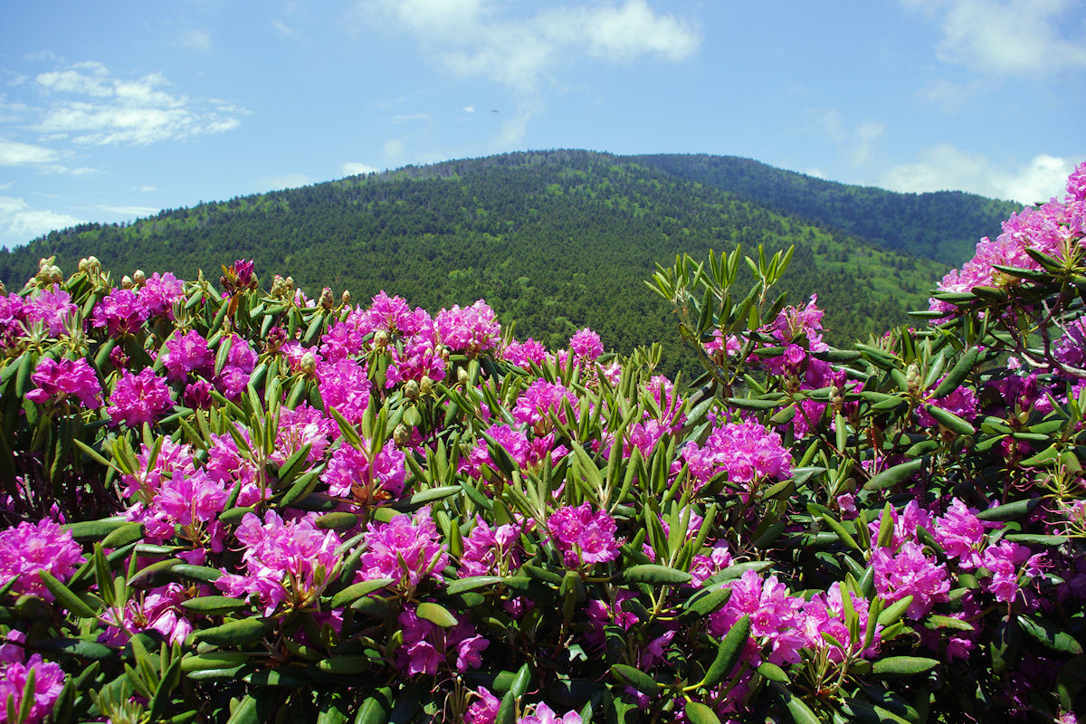 Grand Rhododendron Show At Roan Mountain Asheville NC